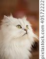 แมว 40572222