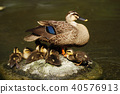 duck, bird, birds 40576913