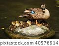 duck, bird, birds 40576914