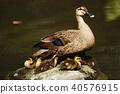 duck, bird, birds 40576915