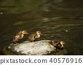 duck, bird, birds 40576916