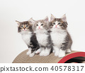 3只挪威巨型森林小貓 40578317
