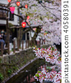 城崎溫泉盛開的櫻花 40580391