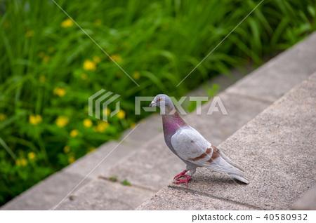 비둘기,청계천,중구,서울 40580932