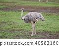 塞倫蓋蒂國家公園 鴕鳥 塞倫蓋提 40583160