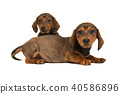 Two sitting and lying shorthair dachshund pups 40586896