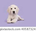 Cute golden retriever puppy lying on the floor 40587324