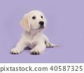 Cute golden retriever puppy on purple 40587325
