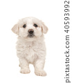 Cute white standing maltese puppy  40593992