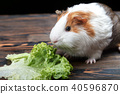 A small guinea pig eating a lettuce leaf 40596870