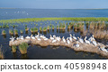 dalmatian pelicans in Danube Delta Romania 40598948