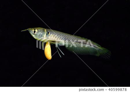 銀龍魚幼魚 40599878