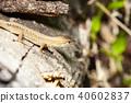 卡納蛇 40602837