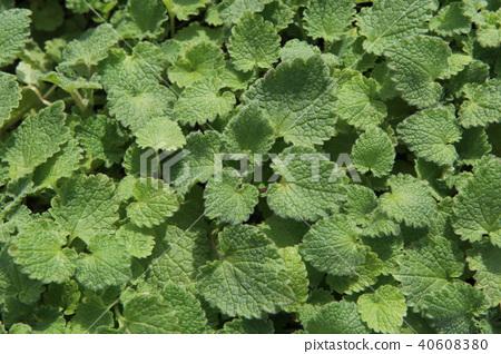 Foliage leaves 40608380