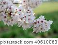 만개 한 벚꽃 40610063