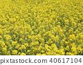 유채, 평지꽃, 유채꽃 40617104