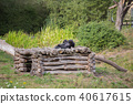 A chimpanzee lies on a wooden scaffolding 40617615