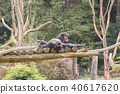 Two chimpanzees on a wooden scaffold 40617620