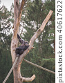 A chimpanzee on a wooden scaffold 40617622