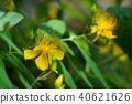 金丝桃 中国金丝桃属植物 藤黄科 40621626