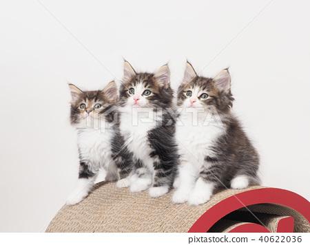 挪威森林貓三隻小貓 40622036