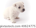 Little white puppy 40624775