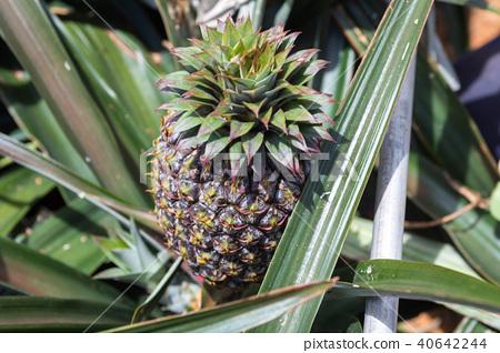 菠蘿領域 40642244