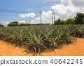 菠蘿領域 40642245