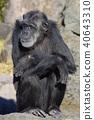 침팬지 40643310
