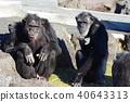 침팬지, 동물, 유인원 40643313