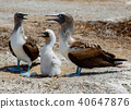 Two adult blue footed boobies with their chick 40647876
