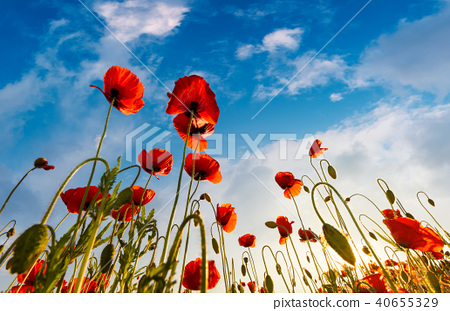 field of red papaver flower shot from below 40655329