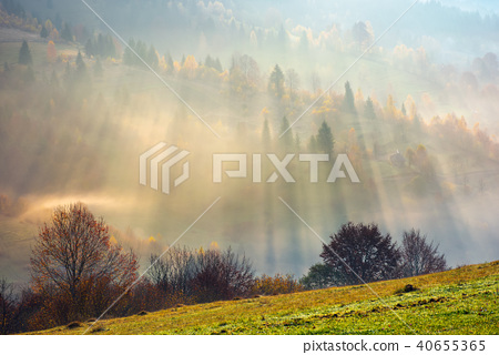 row of trees on the meadow in morning fog 40655365