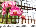 蘭花 蝴蝶蘭 花 40658509
