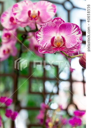 蝴蝶蘭 Phalaenopsis 胡蝶蘭 Flower 蘭花 はな Moth Orchid 花卉 40658556
