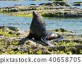 A Seal sitting on the rock, Kaikoura South Island 40658705