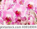 花園 植物 蘭花 40658904