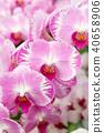 蘭花 蝴蝶蘭 花 40658906