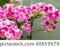 花園 植物 蘭花 40659979