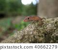 日本蜥蜴3(鹿兒島縣) 40662279