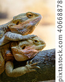 Couple of bearded dragons 40668878