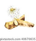 Watercolor horseradish sketch. Botanical illustration of organic, eco plant. Isolated on white 40670635