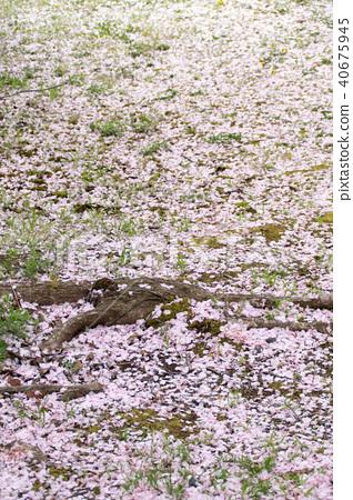 櫻花落在地上 40675945