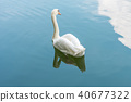 Bird (Swans, Cygnus) swimming in a nature wild 40677322