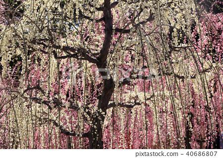 衝擊神社 垂梅 樹枝低垂的李樹 40686807