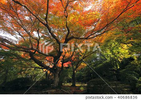 青蓮 楓樹 紅楓 40686836