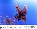 Dangerous poisonous fish swimming blue background. Red lionfish Pterois miles in ocean. soft focus 40699055
