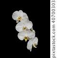 White orchid phalaenopsis flower isolated on black 40700303