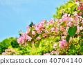 weigela hortensis, deutzia crenata, bloom 40704140