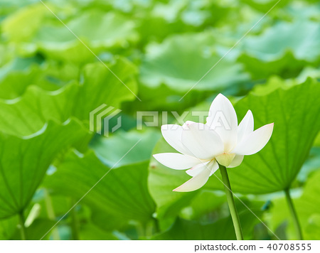 Lotus flower white lotus stock photo 40708555 pixta lotus flower white lotus 40708555 mightylinksfo